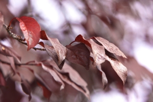 red chrome leaves